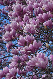 Saucer magnolia flowers Royalty Free Stock Image