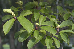 Saucer magnolia fruits Stock Image