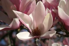 Saucer Magnolia in the garden. Shades of Pink and white Saucer Magnolias in the garden Royalty Free Stock Photo