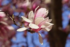 Saucer Magnolia Stock Photos