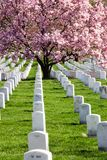 Saucer Magnolia Tree at Arlington Cemetery Virginia Stock Image