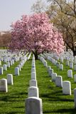Saucer Magnolia Tree at Arlington Cemetery Virginia Royalty Free Stock Photo