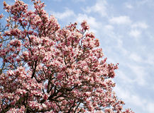 Saucer Magnolia Tree in Bloom Stock Photo
