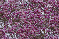 Saucer magnolia tree in blossom. Saucer magnolia (Magnolia x soulangeana). Hybrid between Magnolia denudata and Magnolia liliiflora. Called Chinese Magnolia and Stock Photos