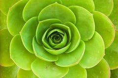 Saucer plant. Aeonium Urbicum macro Stock Image