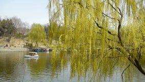 Sauces densos por el lago chispeante, barcos de cruceros de los turistas en el agua metrajes