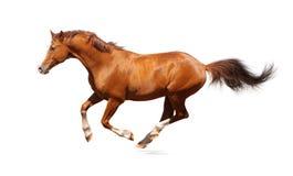Sauerampfer trakehner Stallion Lizenzfreies Stockfoto