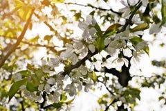 Sauerkirsche Prunus- cerasusbaum in der Blüte Weiße frische Kirsche blüht das Blühen auf einem Baumast Stockfoto