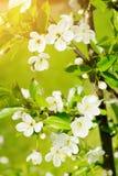 Sauerkirsche Prunus- cerasusbaum in der Blüte Weiße frische Kirsche blüht das Blühen auf einem Baumast Stockbild
