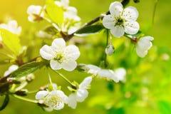 Sauerkirsche Prunus- cerasusbaum in der Blüte Weiße frische Kirsche blüht das Blühen auf einem Baumast Lizenzfreie Stockbilder