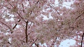 Sauerkirschenblüte in Japan stock video