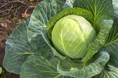 Sauerkraut Cabbage Head with leaves Growing in the Field and ready to be cut, pickled, stuffed, braised, steamed, stewed, sauteed Stock Images