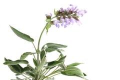 sauge d'isolement par fleurs Photographie stock
