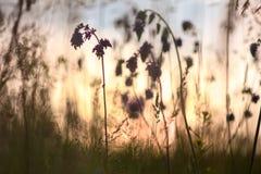 Sauge herbe de prairie sur le fond de ciel de coucher du soleil Photographie stock libre de droits