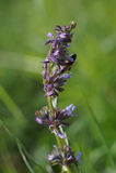 Sauge lilas ou clary whorled (verticillata de Salvia) Photos stock