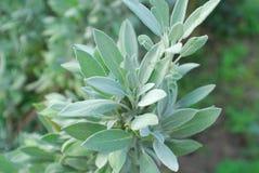 Sauge - plante aromatique avec les feuilles vert grisâtre Image stock