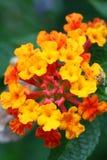 Sauge rouge d'â de camara de Lantana, sauge jaune Photo stock