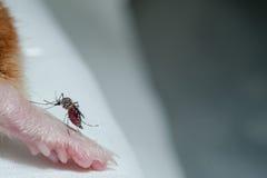 Saugendes Blut des weiblichen Anophelmoskitos von der Maus Lizenzfreie Stockfotos