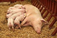 Saugendes Schwein Stockbilder