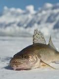 Sauger. Caught ice fishing on a northern Minnesota Lake Stock Image