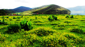 saugt, Blumen, weiße Wolken, Gebirgswald, Wiese, Shangri-La Landschaft Stockfotos