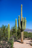 Sauguaro Cacti, group of 3 Stock Photos