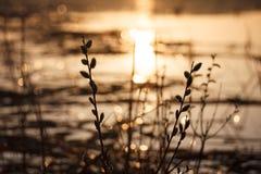 Saule au coucher du soleil images stock