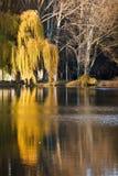 Saule au-dessus de l'étang Images stock
