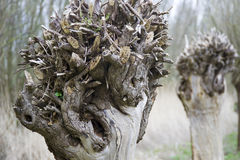 Saule d'arbre étêté photo stock