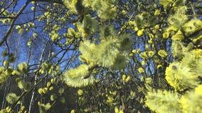 Saule d'arbustes fleurissants banque de vidéos