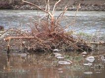 Saule dans l'eau photographie stock libre de droits