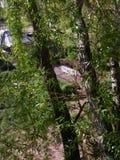 Saule dans ma cour Photo libre de droits