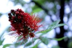 Saule de Bush d'erythrophyllum de Combretum, fleurs rouges Image libre de droits