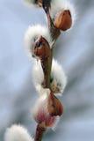Saule de chat de floraison images stock
