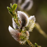 Saule de chat - ressort - Salix Photographie stock