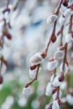 Saule de floraison Caprea de Salix photographie stock