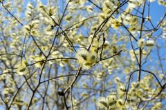 Saule de floraison de ressort photographie stock libre de droits