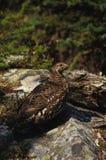 saule de lagopède des Alpes Image libre de droits