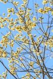 Saule de ressort en fleur Images stock