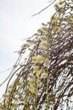Saule en fleur Photo stock