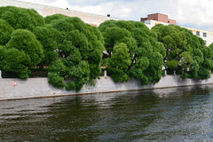 Saule fragile (Salix L fragilis ) élevage le long de la fin de support de rivière de Moika Image libre de droits