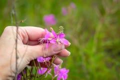 Saule-herbe à disposition images libres de droits