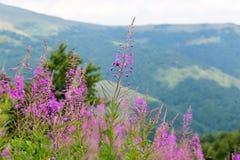 Saule-herbe de Wildflowers sur les pentes de montagne des Carpathiens Photo libre de droits