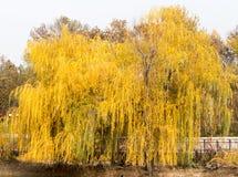 Saule jaune dehors en automne photographie stock