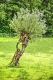 Saule maigre d'arbre étêté Images stock