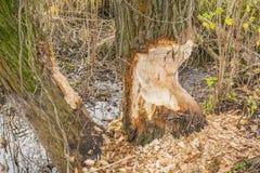 Saule mordu par le castor eurasien (castor, fibre européens de roulette) Photo libre de droits