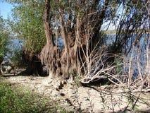 Saule par la rivière photo stock