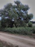 Saule par la route photo libre de droits