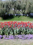 Saule pleurant et fleurs 2007 de Tashkent Images libres de droits