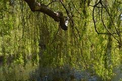 Saule pleurant près d'un lac Photo stock